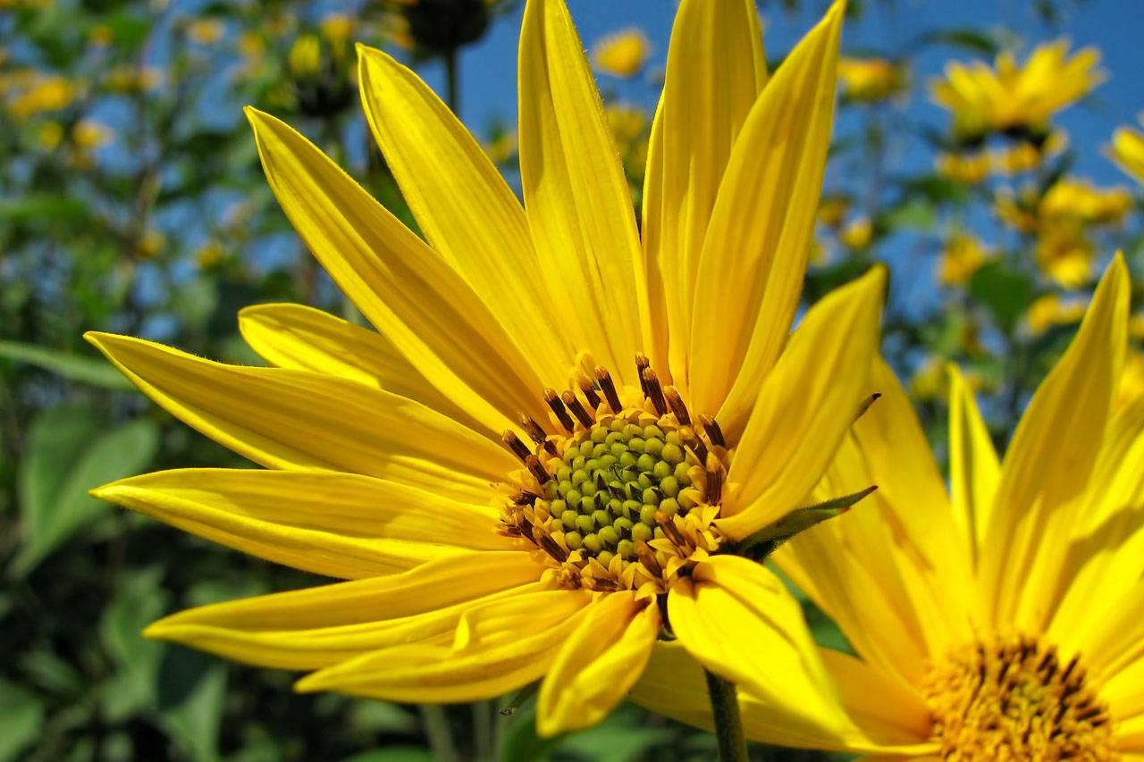 Big Yellow Sunflowers 1280×853