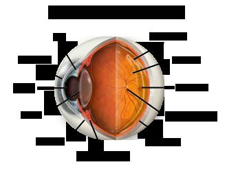 hartsdale eye anatomy